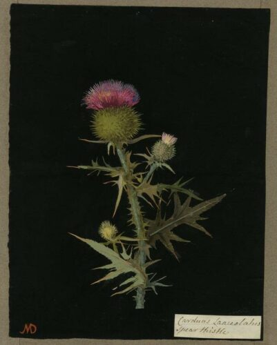 Représentation en papier sur fond noir d'une Carduus Lanceolatus (Syngenesia Polygamia Equalis)
